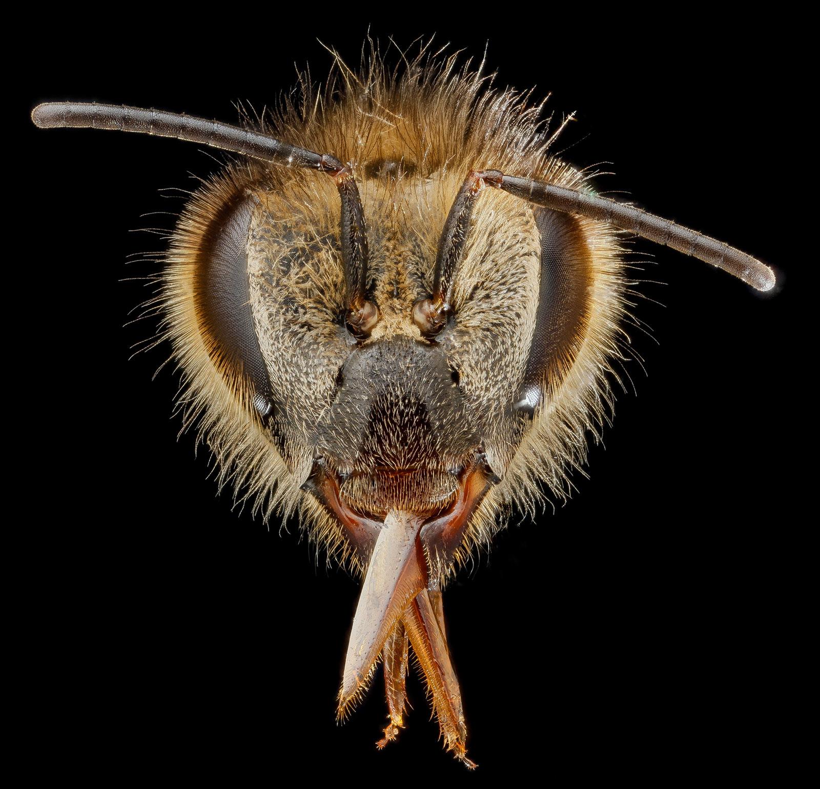3-honeybee-head-1600