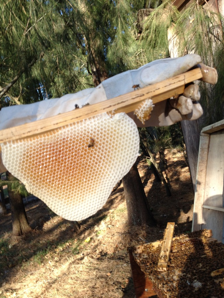 Comb from the Top Bar Hive at Gosford Ag House