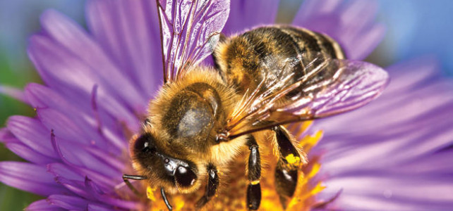 Caffeinated flowers give bees a buzz